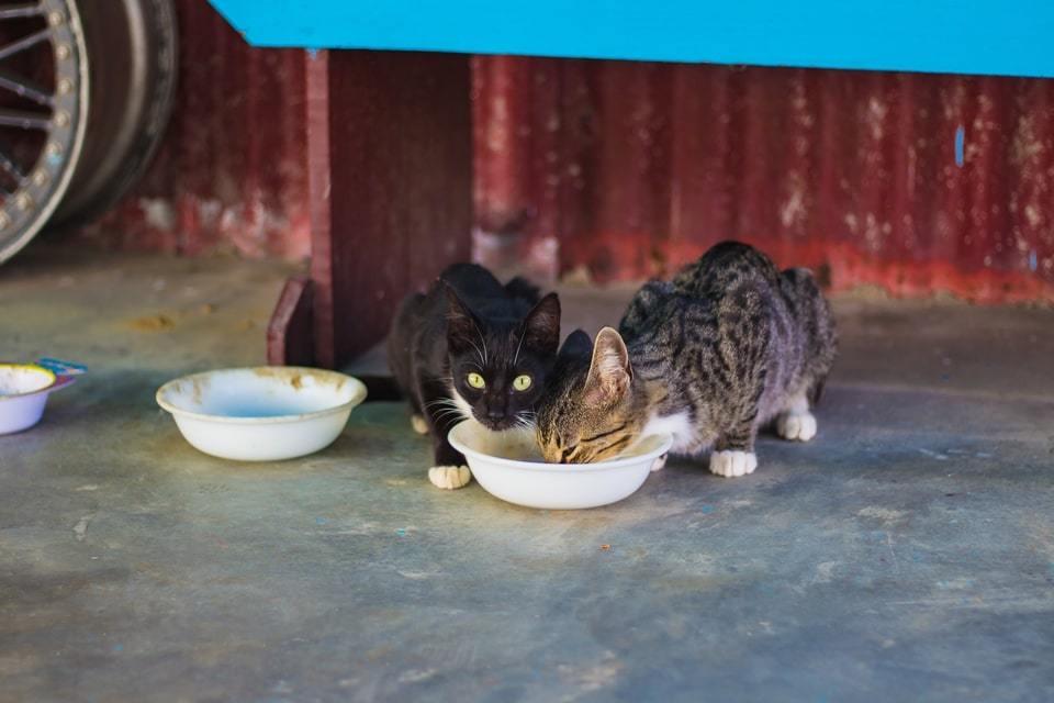 gatti che mangiano del riso