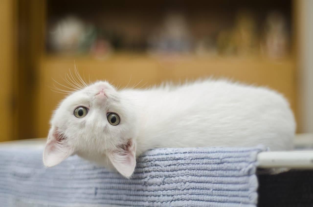nomi da dare a un gatto bianco