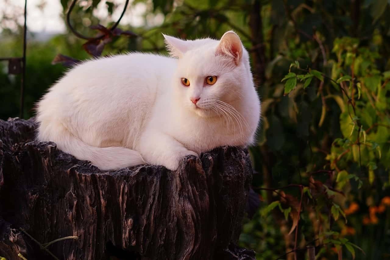 un elenco di nomi per gatti femmine bianche