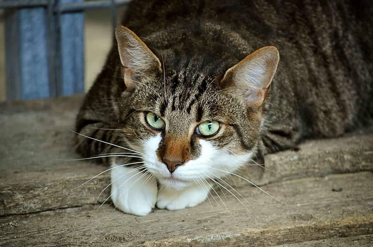 elenco di nomi per gatti femmine tigrate