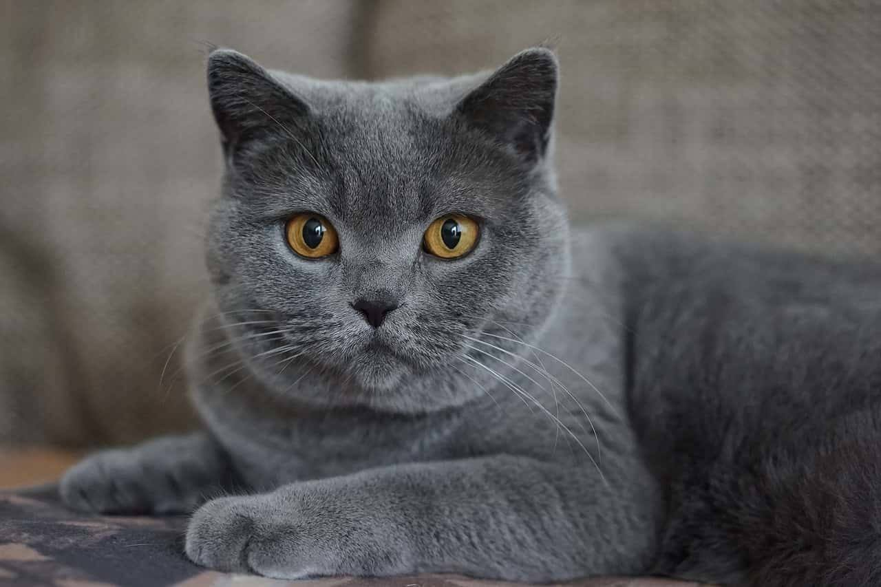 Elenco di nomi per gatti femmine grigie