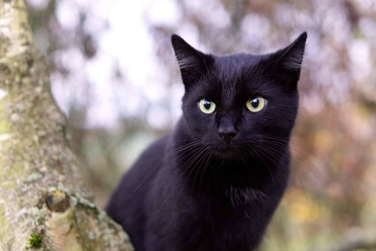 lista di nomi per gatti femmine nere
