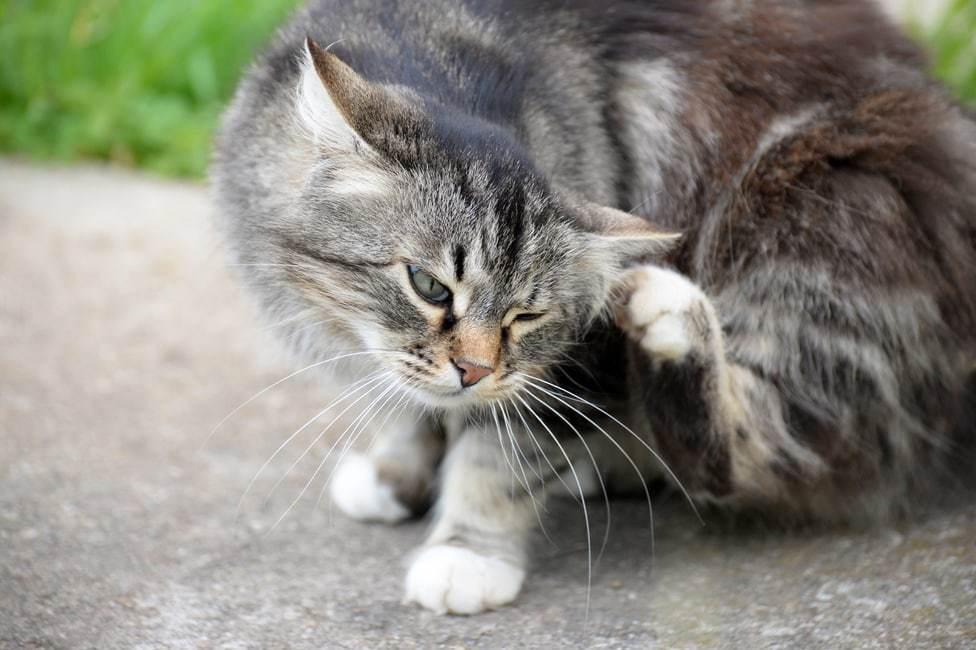 gatto con le pulci e come eliminarle