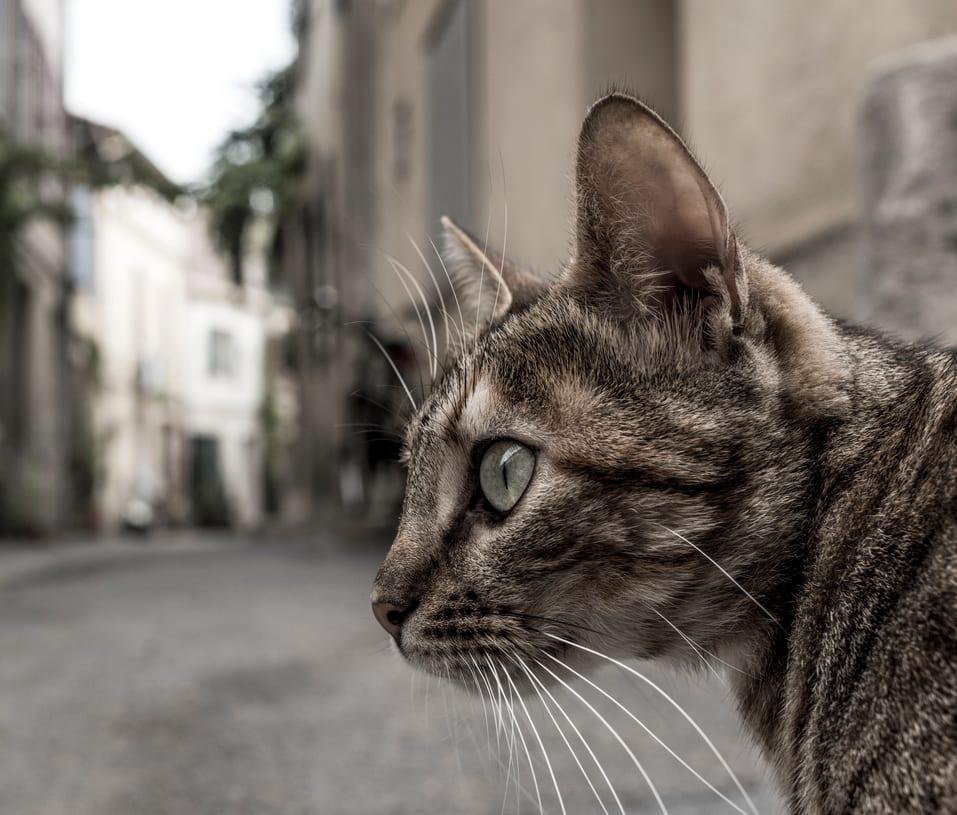 gatto che scappa, perché scappa di casa e come ritrovare un gatto scappato