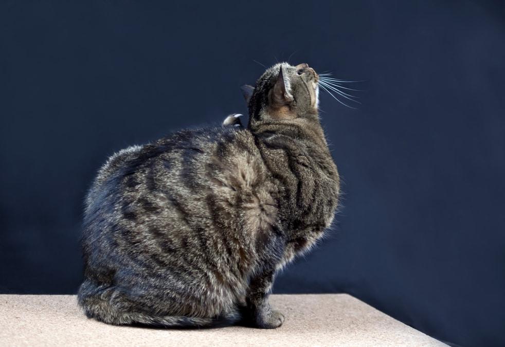 gatto che si gratta perché ha gli acari nelle orecchie, come prevenirlo.