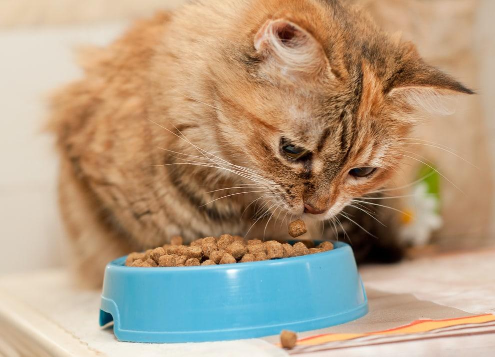 gatto che guarda il cibo perché è sempre affamato