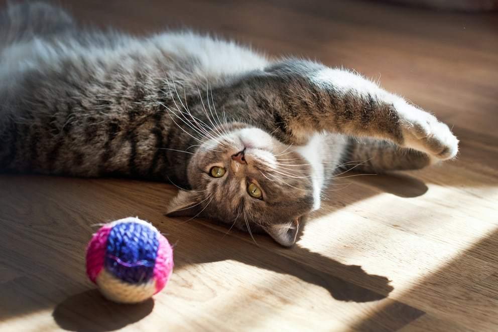 Gatto che gioca un gioco per gatti