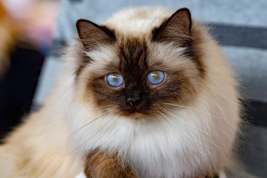 gatto anallergico, il gatto sacro di birmania