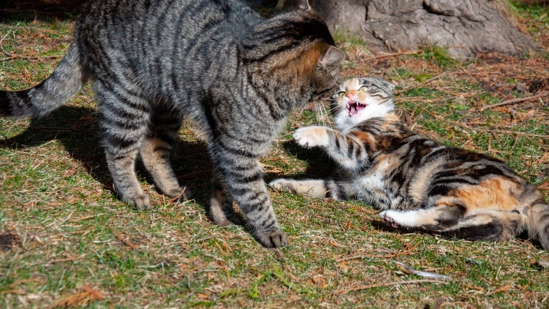Il gatto è stressato per un nuovo gatto o animale